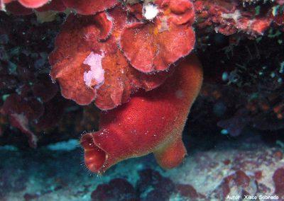 Ascidia roja